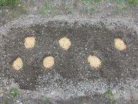4月9日種イモ植え全体(5%)