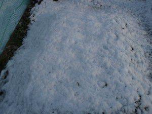 雪に覆われたニンニク